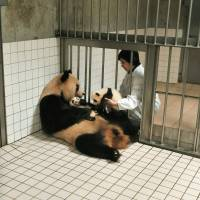 Wakayama park trumpets success with its panda-breeding program