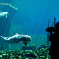Whistle while it talks: A visitor takes a photo of a dolphin at a zoo in Nuremberg, Germany, on July 17. Researchers say that the mammals design unique signature whistles to identify themselves. | AFP-JIJI