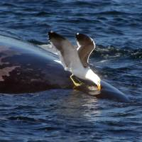 Live lunch: A seagull pecks the back of a whale off the coast of the Valdez Peninsula, Argentina. | AFP-JIJI
