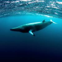Wide blue yonder: This image released Wednesday shows a dwarf minke whale swimming at the Great Barrier Reef off Australia. The mammals have been tagged and tracked in a world-first pilot study that hopes to solve the mystery of where they spend the summer. | MINKE WHALE PROJECT/MATT CURNOCK/AFP-JIJI