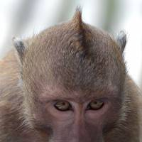 Unusual suspect: A long-tailed macaque eats candy stolen from a farmer's house in Chachoengsao province, Thailand, last month. | AFP-JIJI