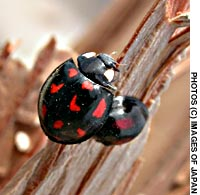 With their predilection for aphids, ladybirds are among the gardener's best friends.