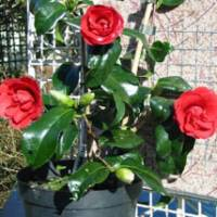 Courting camellias: This red camellia, whose cutting was taken from a collection in Kyoto belonging to an ailing monk, now thrives at Tregothnan Estate in Cornwall, England. | KYODO PHOTO