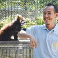 Nothing greater: Ko Tanaka, a keeper at the Nagano Chausuyama Zoo, plays with a male red panda, Ron, in May at the zoo. | KYODO