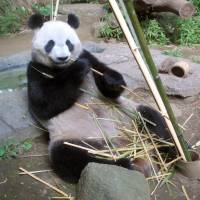 Shin Shin had a phantom pregnancy: Ueno panda experts