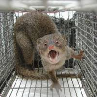 Back off: A mongoose captured near a U.S. base in Okinawa in 2006 snarls. | YAMBARU WILDLIFE CONSERVATION CENTER/KYODO