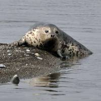 Okhotsk seal puts in at Odawara