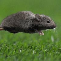 Sugar levels 'safe' for humans cause mice to procreate less and die early