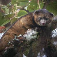 Olinguito is first carnivore found in Western Hemisphere in 35 years