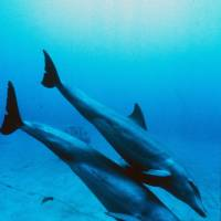 Outbreak: A measleslike virus has been detected in dozens of bottlenose dolphins. | AFP-JIJI