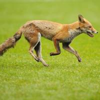 Sly devil: A fox runs onto the pitch before the Six Nations International rugby union match between England and Scotland at Twickenham Stadium in southwest London in March 2011. | AFP-JIJI