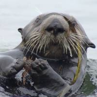 Crab-grass link: A sea otter clutches a crab off Monterey, California. | AFP-JIJI