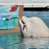 Look, no hands!: A Beluga whale paints an image using a mouth-held brush at  Yokohama Hakkeijima Sea Paradise on Tuesday. | AFP-JIJI