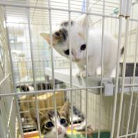 Seeking humane treatment: Kittens look out of a cage at the Nagoya City Animal Protection Center. | CHUNICHI SHIMBUN