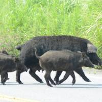 The grass is greener: Wild boars cross a road last month in Tomioka, Fukushima Prefecture, a town located within the 20- km no-go zone around the crippled Fukushima No. 1 nuclear plant. | KYODO