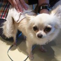 It's a dog's life: A chihuahua receives a massage using a towel soaked in herbal water. | KYODO
