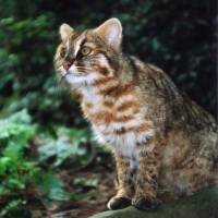Tsushima leopard cat in decline