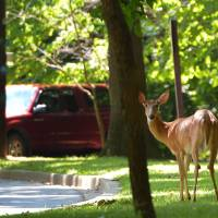 Oh, deer!: U.S. split on culling suburban menace