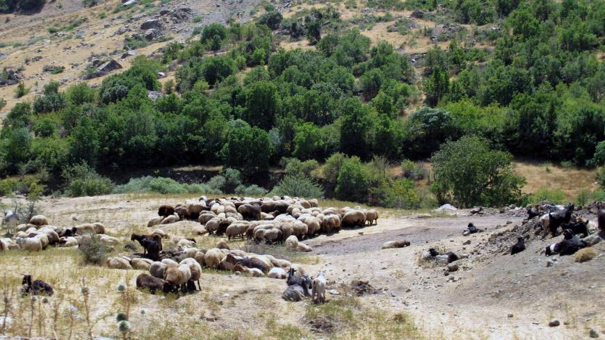 Oasis: Sheep graze in Halgurd Sakran National Park.