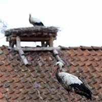 Storks find their paradise in Poland