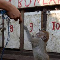 Business monkey: A handler puts a monkey in a small wooden cage in a slum area of Jakarta on Thursday. | AFP-JIJI