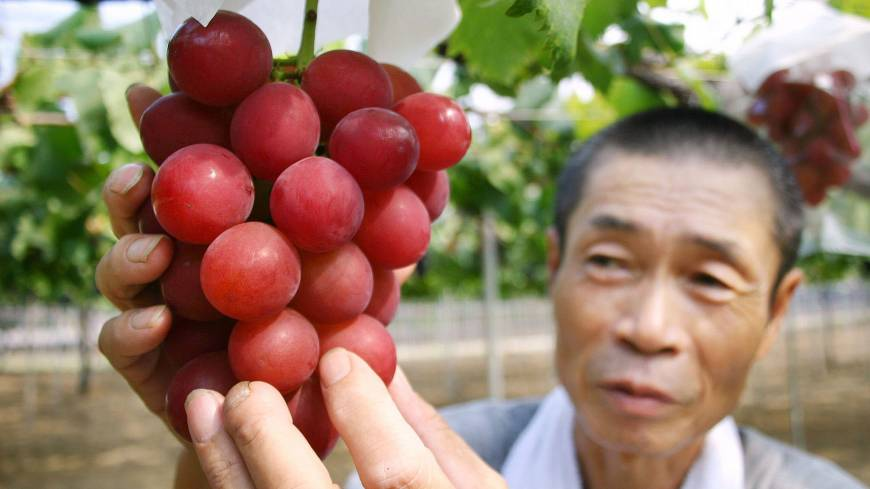 A grower tends a cluster of Ruby Roman grapes in a vineyard in Kahoku, Ishikawa Prefecture, in August 2008.
