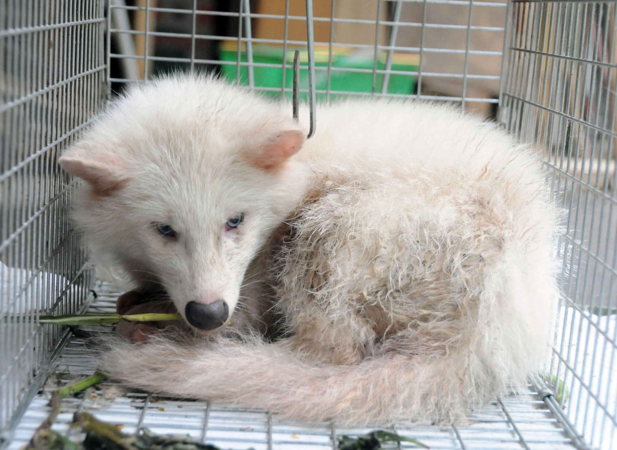 Rare White Raccoon Dog Caught The Japan Times