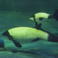 Porpoise-ful glance: Commerson's dolphins, better known as panda dolphins, swim at the Marinepia Matsushima Aquarium in Matsushima, Miyagi Prefecture. | KYODO