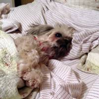 Fatal jerky: Doodles the dog lies sick in bed before his untimely death Sept. 9 in Chattanooga, Tennessee. Doodles is believed to be one of 580 dogs in the United States that have died in the past six years from eating pet jerky imported from China | AP