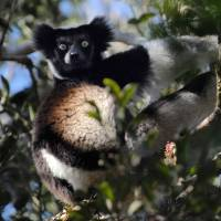 Barely hanging on: A male Indri lemur feeds on leaves in a nature reserve in Andasibe, Madagascar | AFP-JIJI