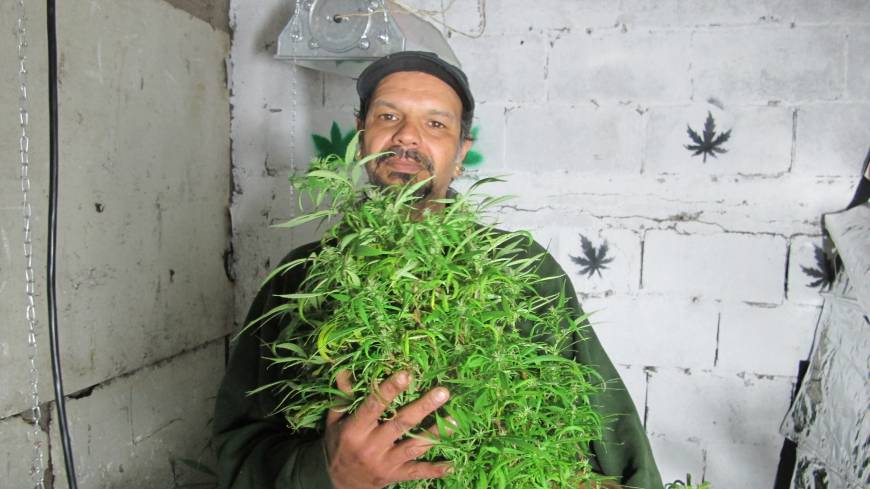 Budding market: Alvaro Calistro, who has been arrested in the past on suspicion of trafficking marijuana, displays one of his marijuana plants in Montevideo on Oct. 19