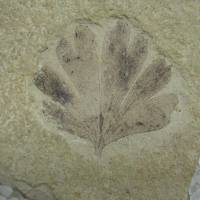 Ancient kin: A 49-million-year-old Ginkgo dissecta fossil from the Klondike Mountain Formation in Washington state. | KEVMIN