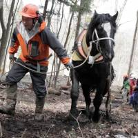 Win-win: Horse-logger Takashi Iwama thins neglected woodland with Samurai King. | CONAN MORIMOTO PHOTO