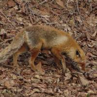 Fur dinkum: The Red Fox, one of Japan's more ubiquitous mammals. | MARK BRAZIL PHOTO