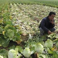 In the green: A farmer smokes in a cabbage field in Huaiyuan County, in eastern China's Anhui province, in November 2011. | AP