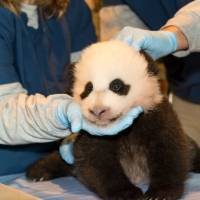 What's in a name?: The National Zoo is holding an online vote to name its newest panda, seen here Nov. 15, at the zoo in Washington. The new name will be announced on Dec. 1, when the cub turns 100 days old. | THE WASHINGTON POST