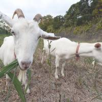 Condo ditches lawn mowers for goats