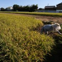 No limits: A farmer harvests rice in a paddy in Sakura, Chiba Prefecture, in late August. The Liberal Democratic Party-led government proposed Wednesday to abolish in 2018 the decades-old state program limiting rice cultivation | BLOOMBERG
