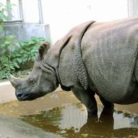 Zookeeper helps pad the rhino digs