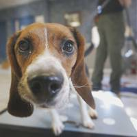 Ain't nothing but a hound: Elvis, a 2-year-old beagle, checks a lens while sniffing polar bear protein samples at IronHeart High Performance Dog Center in Shawnee, Kansas, on Oct. 28 | AP