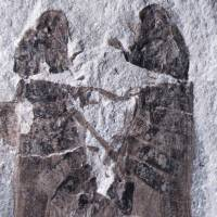 Eternal embrace: This fossil found in China suggests that froghoppers mated in the same way 165 million years ago. | THE WASHINGTON POST