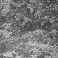 Caught on film: This Sept. 7 photo released by WWF shows a Saola (right) in a forest of Vietnam. The long-horned ox, one of the rarest and most threatened mammals on Earth, has been caught on camera in Vietnam for the first time in 15 years, renewing hope for the species' recovery | AP