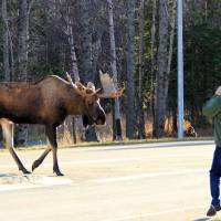 Dying off: A bull moose crosses Kincaid Park Road in Anchorage, Alaska. Ecologists in the United States warn that moose could be gone within a decade. | AP