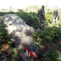 Rhino poaching nearly outpaces births