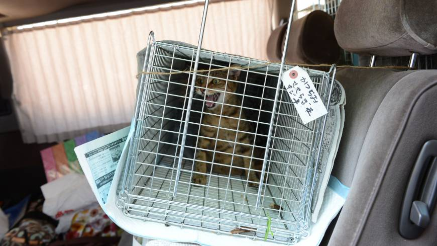 Feral: Hiro  Yamasaki of the Animal Rescue System Fund is adamant that TNR (trap, neuter, return) is the only humane method to control Fukushima's burgeoning cat overpopulation.