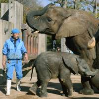 Father figure: Osamu Shiina looks after African elephants at Tobe Zoological Park in Ehime Prefecture on Nov. 21.
