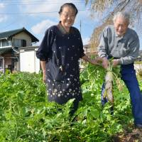 Toughing it out: Kinjiro Ide and his wife, Toshi, pull up a daikon in their vegetable garden in the village of Kawauchi, Fukushima Prefecture, on Nov. 2. | KYODO