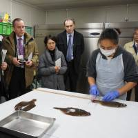 Under scrutiny: A worker at the Marine Ecology Research Institute in Chiba Prefecture measures a fish before radiation tests during a press tour Dec. 10.   KAZUAKI NAGATA