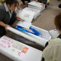 On ice: Fish to be checked for radiation are delivered to Marine Ecology Research Institute in Chiba Prefecture on the morning of Dec. 10.   KAZUAKI NAGATA