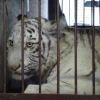 White tiger undergoes knee surgery in Kanagawa